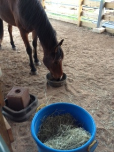River happily munching his dinner in his stall - but not after acting like a crazy beforehand.