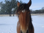 Horse Photo - Ranger close-up in the snow