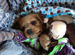 Dog Photo - Maybelle as a puppy
