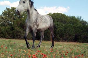 Horse Photo - Smokey in the wildflowers