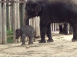 Photo - Baby elephant at the Fort Worth Zoo