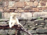 Photo - Lioness at the Fort Worth Zoo