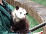 Photo - Opposum at the Fort Worth Zoo.