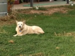 Dog Photo - Abby laying in the grass