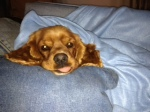 Dog Photo - Maybelle with her tongue out