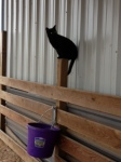 Cat Photo - Nightmare in the horse stalls