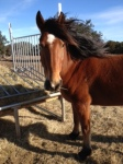 Horse Photo - Ranger with his mane blowing in the wind