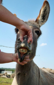 Donkey Photo - Sweetie Pie shows off her pearly whites