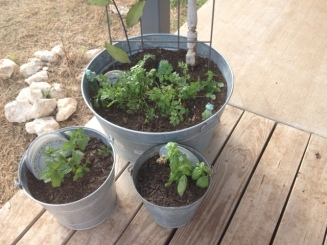 Garden Photo - Potted herbs