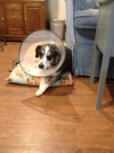 Dog Photo - Goober with his cone