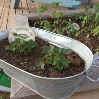 Garden Photo - Strawberries in galvanized bucket