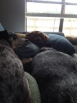 Dog Photo - Goober, Maybelle, Dixie sleeping on the sofa