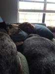 Dog Photo - Goober, Maybelle, Dixie sleeping on the sofa