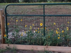 Farm Photo - Gate with sunflowers
