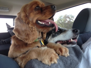 Dog Photo - Maybelle and Goober in the truck