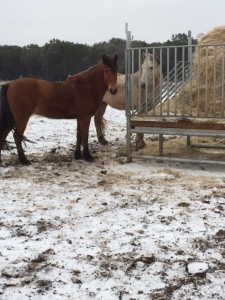 Horse Photo - Ranger and Smokey eating hay.