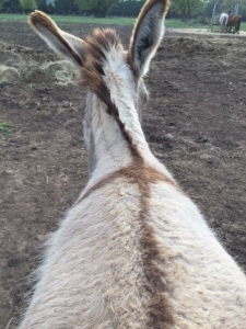 Donkey Photo - Sweetie Pie shoes off her cross markings