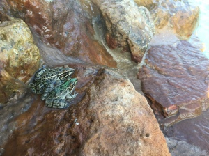 Farm Critter Pic - Frogs in the Pool