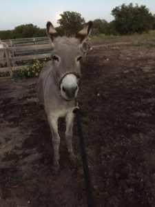 Farm Photo - Sweetie Pie the Donkey