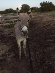 Farm Photo - Sweetie Pie the Donkey