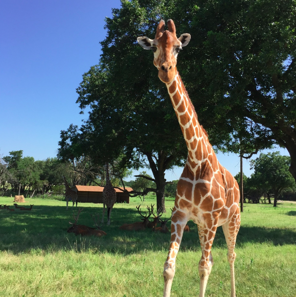 My Farmtastic Life - Giraffes at Fossil Rim Wildlife Center
